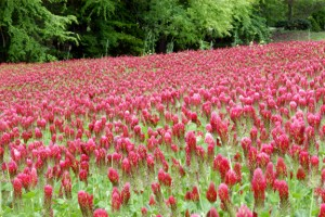 Red clover is one of the cover crop we use to reduce erosion and increase soil health