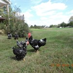 Java is a premiere homesteading fowl and thrive when given free range
