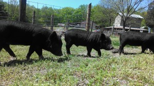 Quality breeding stock and feeder stock for sale year round