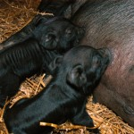 Old Crowe Peony nursing her new piglets less than 12 hours old