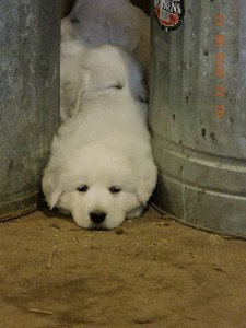 1-month old Maremma puppies snoozing between feed cans in the barn while we went about our feeding chores